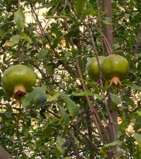 Pomegranate tree ♥️ #pomegranate #pomegranatependant #goldandruby #fruitjewelry #handmadewithlove❤ #ilovemyjaipur🌼 #monicagjewels🍇🍎🍓🍒🥕